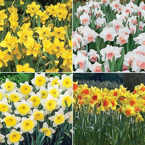 the best daffodils for naturalizing