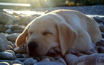 Labrador Sleep Wallpapers Dogs Animals Sleeping Dog