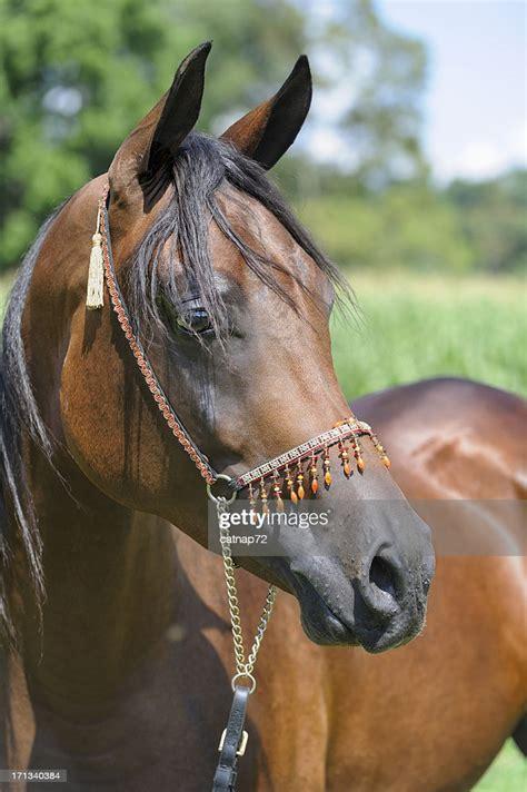 horse head shot stallion arabian bay halter jeweled