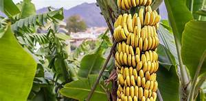 Prehistoric people started to spread domesticated bananas ...