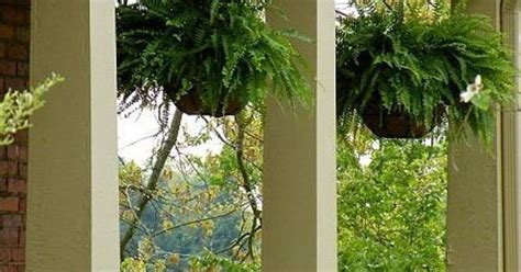 how to hanging ferns that are the envy of the