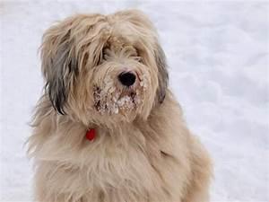 Bilder Zum Kaufen : tibet terrier welpen kaufen ~ Yasmunasinghe.com Haus und Dekorationen