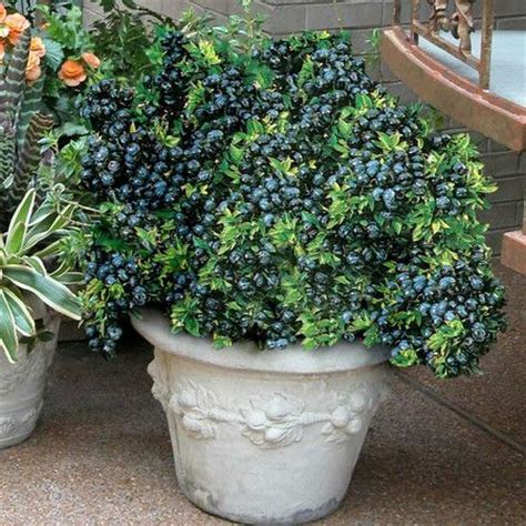 17 best images about growing a green thumb on gardens blueberry plant and