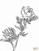 Peony Coloring Pages Drawing Line Printable Flowers Getdrawings sketch template
