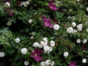 Rosier Grimpant Blanc : rosier grimpant blanc ~ Premium-room.com Idées de Décoration