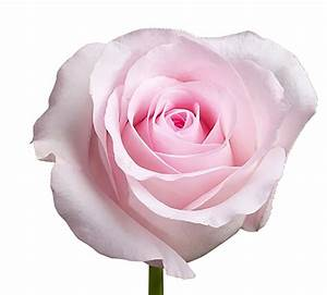 Rose, Light Pink Sweet Akito | Charlotte Flower Market