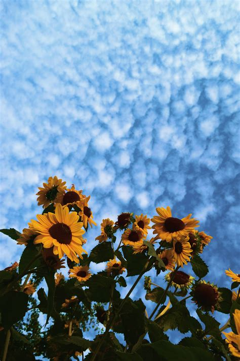 aesthetic sunflower hd wallpapers