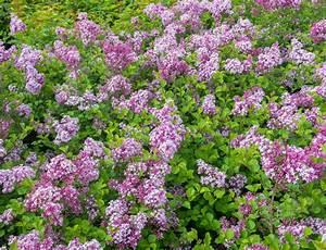 Blühende Hecke Schnellwachsend : sommerflieder hecke so pflanzen und pflegen sie sie ~ Eleganceandgraceweddings.com Haus und Dekorationen