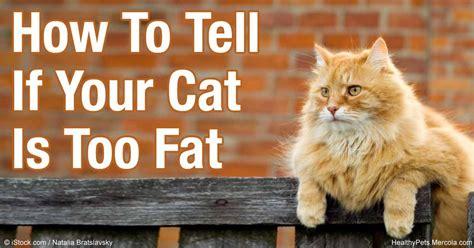 how to tell if a cat is or how to slim down an overweight cat