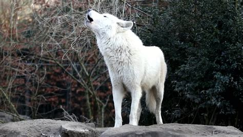 howling white wolf stock footage video  royalty