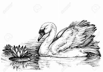 Swan Lake Sketch Lotus Flowers Drawing Zwaan