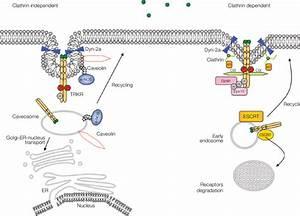 FIGURE E 9.2.4 Downregulation of receptors with catalytic ...