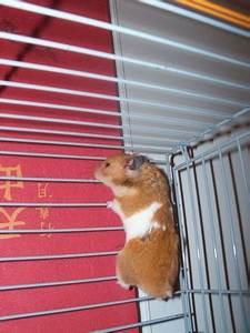 Cage A Cochon D Inde : peut on mettre un hamster dans une cage a cochon d 39 inde ~ Dallasstarsshop.com Idées de Décoration