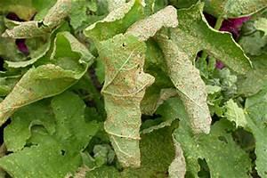 Schmucklilie überwintern Gelbe Blätter : rostpilze befallen sommerblumen und stauden ~ Eleganceandgraceweddings.com Haus und Dekorationen