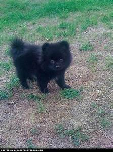 Pomeranian puppy | Poms | Pinterest