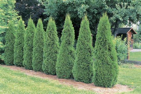 arborvitae tree how to grow emerald green arborvitae trees