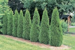 How to Grow 'Emerald Green' Arborvitae Trees