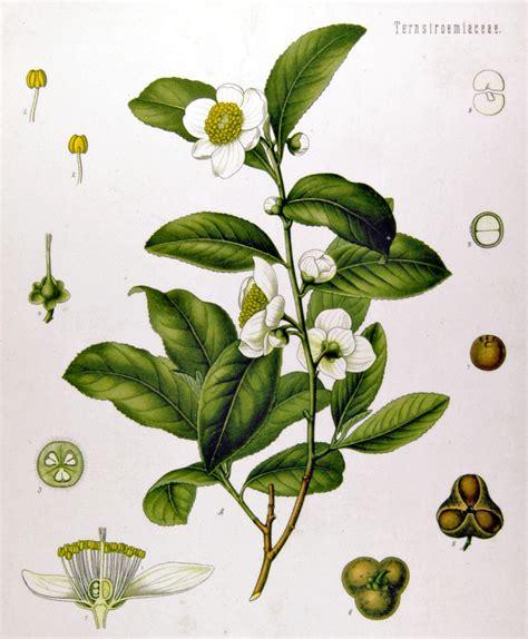 Fair Trade, Tea Plants, Coffee Plants