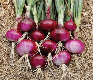 Onion Nasik Red Seeds - GreenMyLife - Anyone can Garden