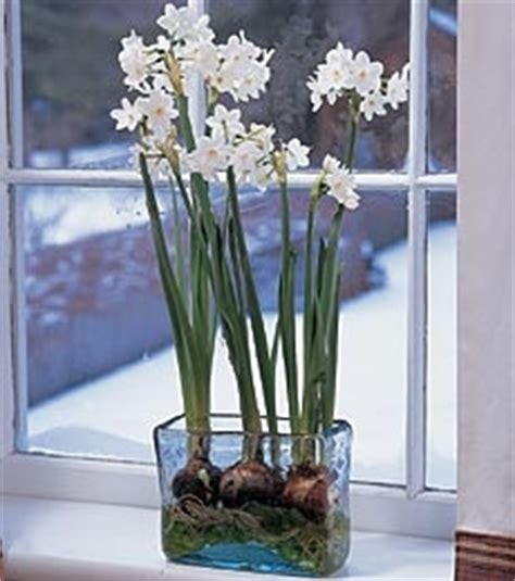 forcing bulbs indoors for the holidays