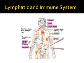 Pics Photos - The Lymphatic System And Our Immune Response Did You  Immune System Lymph Nodes
