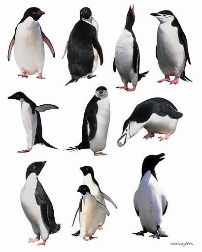 Penguins Penguin Transparent Pinguin Freepngimg Icon источник