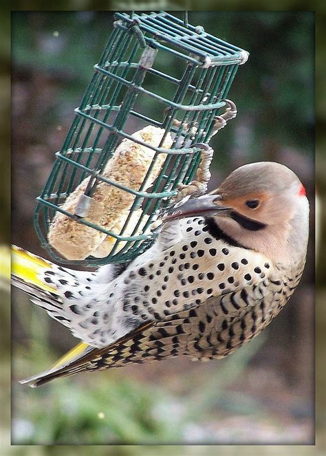 olla podrida feed the birds a recipe for wild bird suet