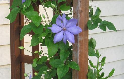 edera coltivazione in vaso ricanti in vaso sul balcone quali piante scegliere