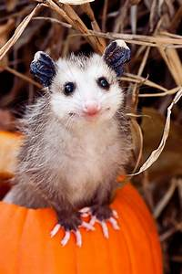 15+ Awesome Possums And Opossums | Bored Panda