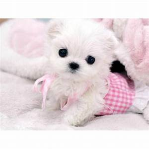 27 best Teacup Maltese images on Pinterest | Baby puppies ...