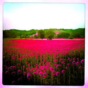 Pink Sunflowers Field