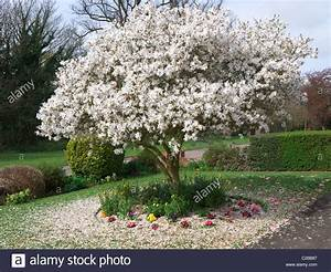 A beautiful blooming white magnolia tree surround by a ...