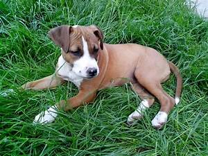 Free Picture  Young  Puppy  Boxer  Breed  Dog