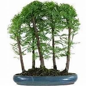 Pflege Bonsai Baum Indoor : mammutbaum bonsai pflege ~ Michelbontemps.com Haus und Dekorationen