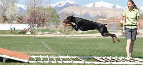 doberman puppies  litter agility dobermans