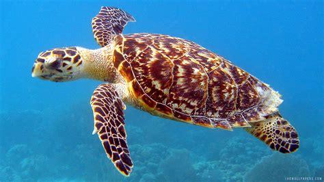 turtle hd wallpaper wallpapersafari