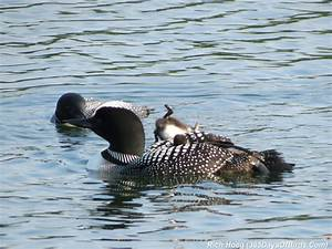 Day 164: Common Loon Parents and Chicks (photos) | 365 ...