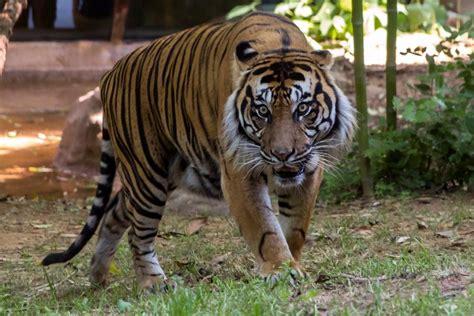 zoo atlanta mourning loss  sumatran tiger nbc news