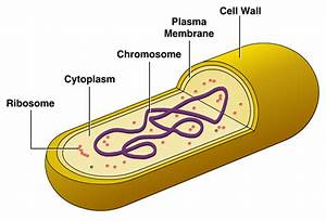Cellular Structure Of Bacteria