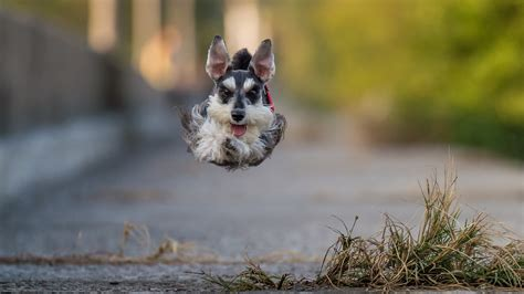 dog jumping running animals wallpapers hd desktop