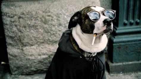 Smoking Dog Funny Animal High Resolution Wallpaper
