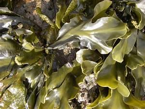 edible seaweed   oceans52  Seaweed