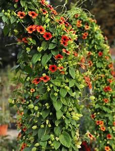 Schnell Wachsende Laubbäume Für Den Garten : schwarz ugige susanne thunbergia alata kletterpflanzen ~ Michelbontemps.com Haus und Dekorationen