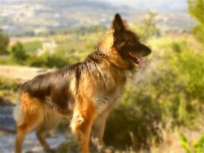 German Shepherd Dog Wallpapers Wallpapersafari Puppy Code