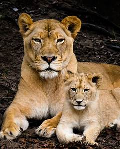 Image Gallery Mom Lion