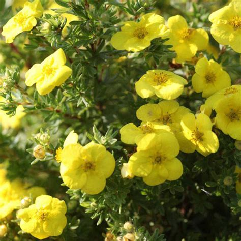Potentilla fruticosa 'Kobold' Parastā klinšrozīte ...