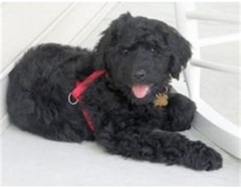 rottle rottweiler poodle mix info temperament puppies