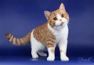 British Shorthair Cat Breed Profile - UK Cat Breeders