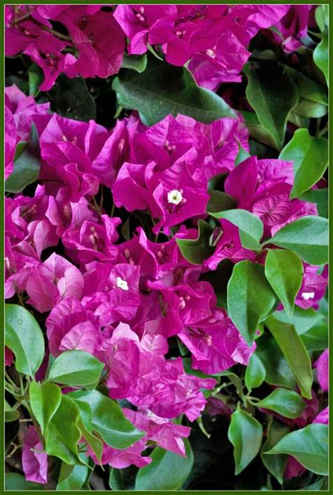 close  view   bougainvillea hybrid