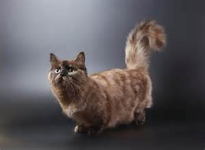 munchkin cats for munchkin cat hair